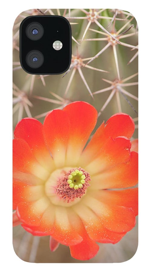 Orange Color IPhone 12 Case featuring the photograph Beautiful Claret Cup Hedgehog Blossoms by Lokibaho