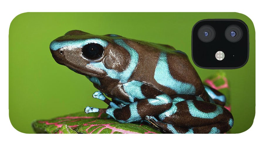 Animal Themes iPhone 12 Case featuring the photograph Blue And Black Dart Frog, Dendrobates by Adam Jones