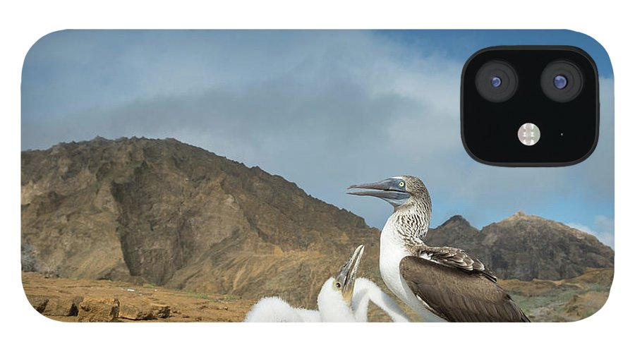 Animal iPhone 12 Case featuring the photograph Blue Footed Booby Chick Begging by Tui De Roy