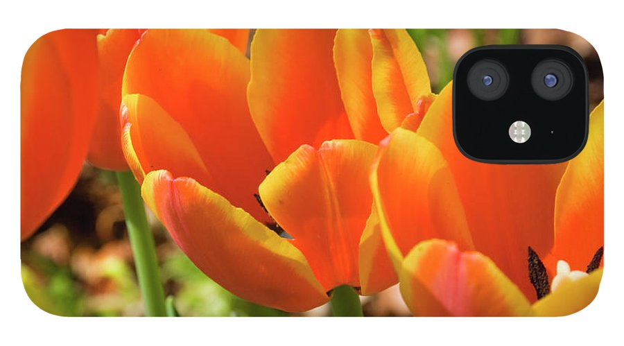 Flowerbed IPhone 12 Case featuring the photograph Bright Orange Tulips by Earleliason