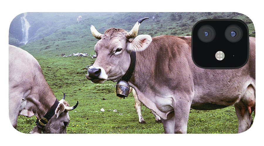 Cow IPhone 12 Case featuring the photograph Brown Swiss Cows In A Foggy Meadow by Jeffgoulden