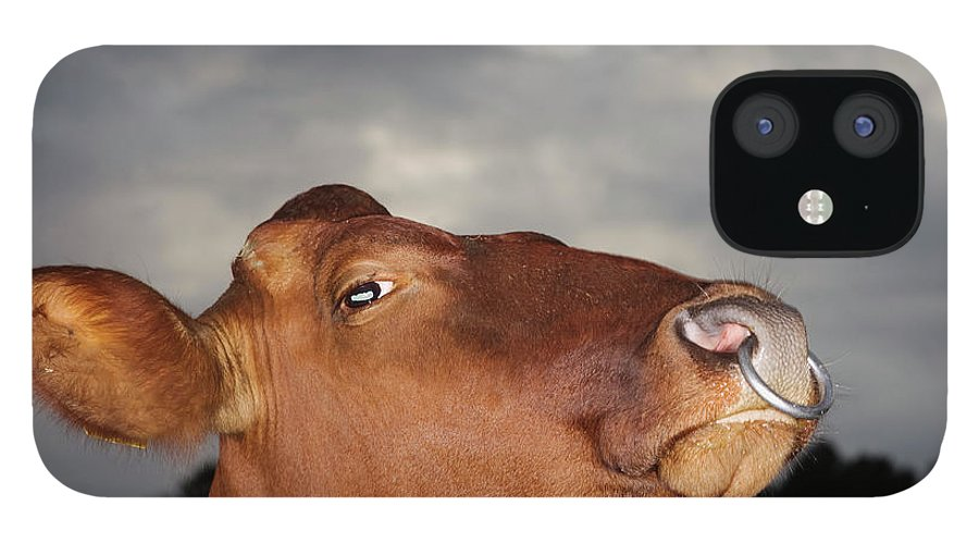 Sweden IPhone 12 Case featuring the photograph Bull In Evening Light by Roine Magnusson