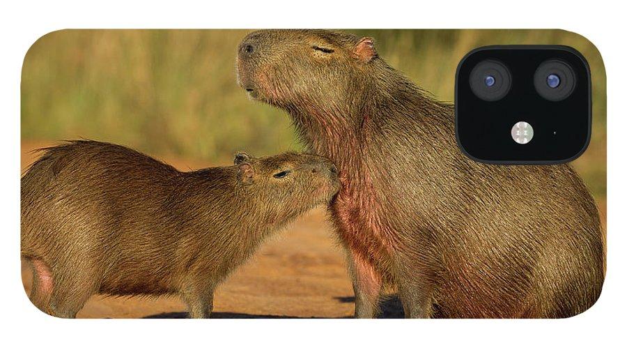 Sebastian Kennerknecht iPhone 12 Case featuring the photograph Capybara Juvenline Sniffing Mother by Sebastian Kennerknecht