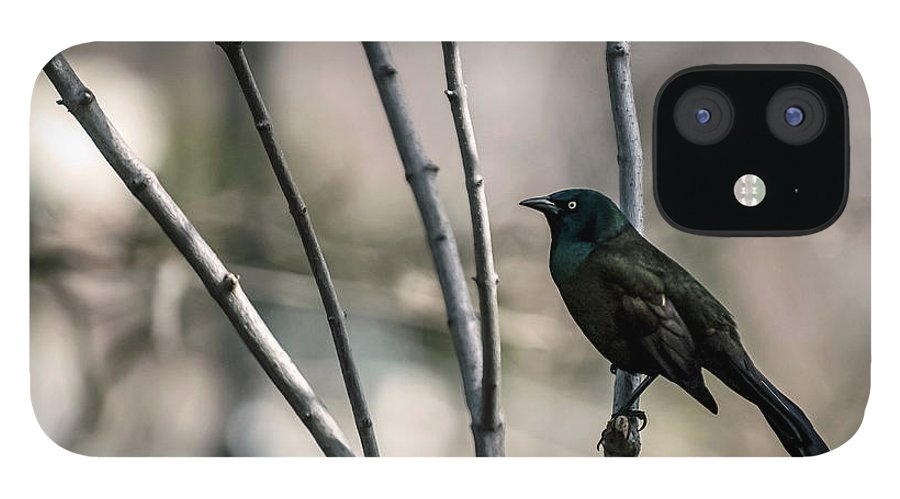 Animal Themes IPhone 12 Case featuring the photograph Common Grackle by By Ken Ilio