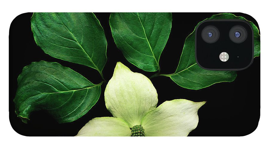 Dogwood iPhone 12 Case featuring the photograph Cornus Plant Against Black Background by Mike Hill