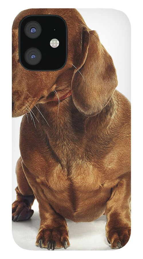 Pets IPhone 12 Case featuring the photograph Dachshund Looking Up by Gandee Vasan