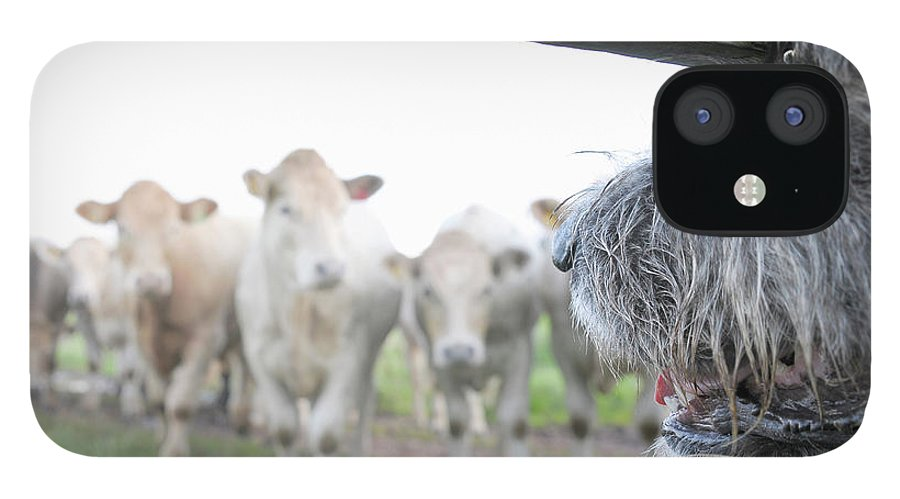 Alertness IPhone 12 Case featuring the photograph Dog Watching Cows Through Fence by Cecilia Cartner