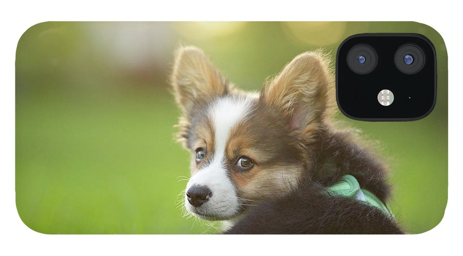 Pets IPhone 12 Case featuring the photograph Fluffy Corgi Puppy Looks Back by Holly Hildreth