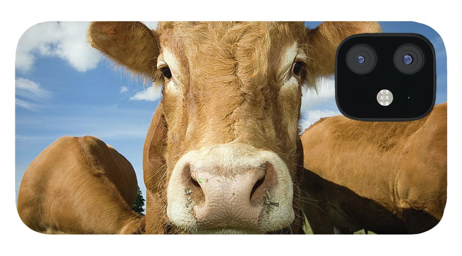 Cow iPhone 12 Case featuring the photograph Limousin Bull by Clarkandcompany