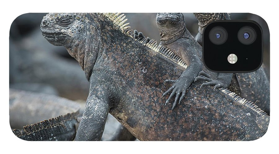 Animal iPhone 12 Case featuring the photograph Marine Iguana And Juveniles Basking by Tui De Roy