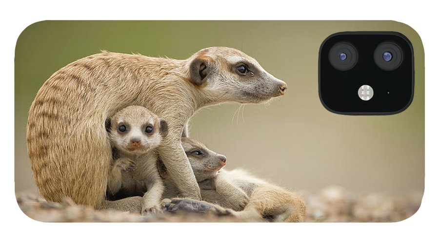 Care iPhone 12 Case featuring the photograph Meerkat Pups With Adult, Namibia by Paul Souders