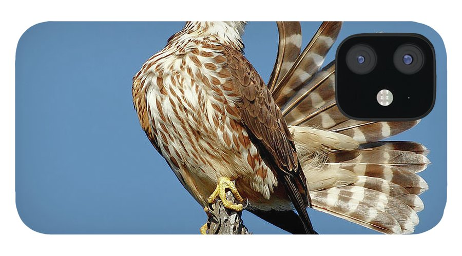 Animal Themes IPhone 12 Case featuring the photograph Merlins Grooming Session by Bmse