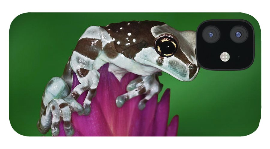 Animal Themes IPhone 12 Case featuring the photograph Milk Frog, Trachycephalus Resinifictrix by Adam Jones
