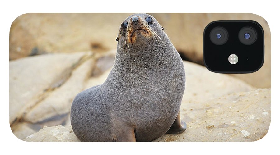 Alertness IPhone 12 Case featuring the photograph New Zealand Fur Seal, Arctocephalus by Raimund Linke