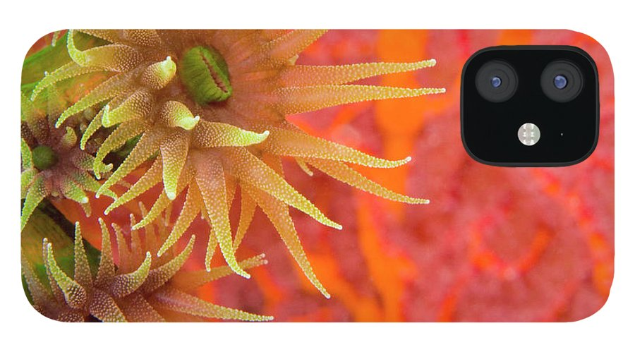 Underwater iPhone 12 Case featuring the photograph Orange Cup Coral Tubastraea Sp by Rene Frederick