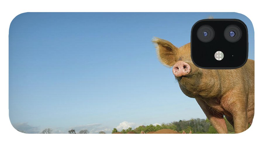 Pig IPhone 12 Case featuring the photograph Pig In Field by Henry Arden