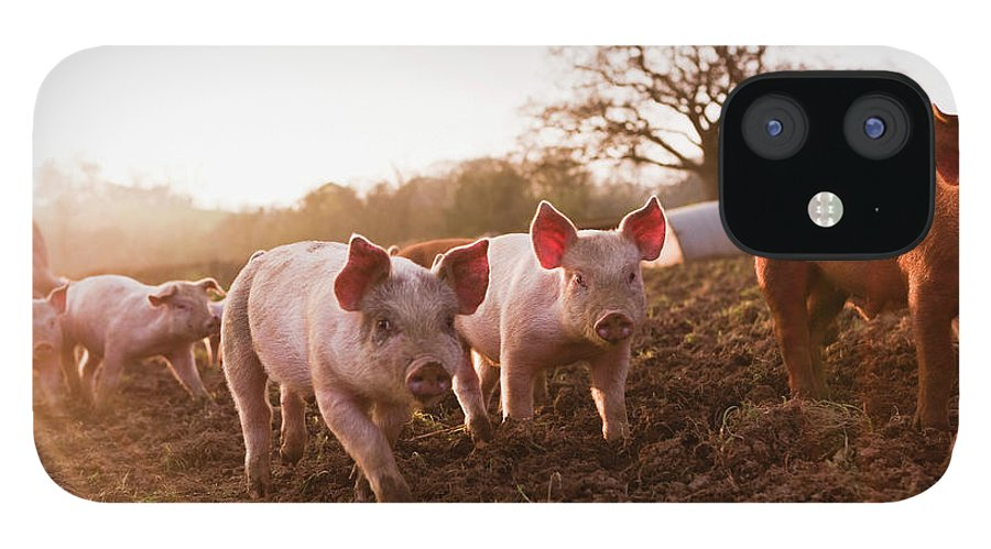 Pig IPhone 12 Case featuring the photograph Piglets In Barnyard by Jupiterimages