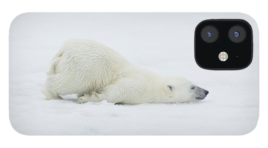 Svalbard Islands IPhone 12 Case featuring the photograph Polar Bear Cub Stretching Out On Ice by Darrell Gulin