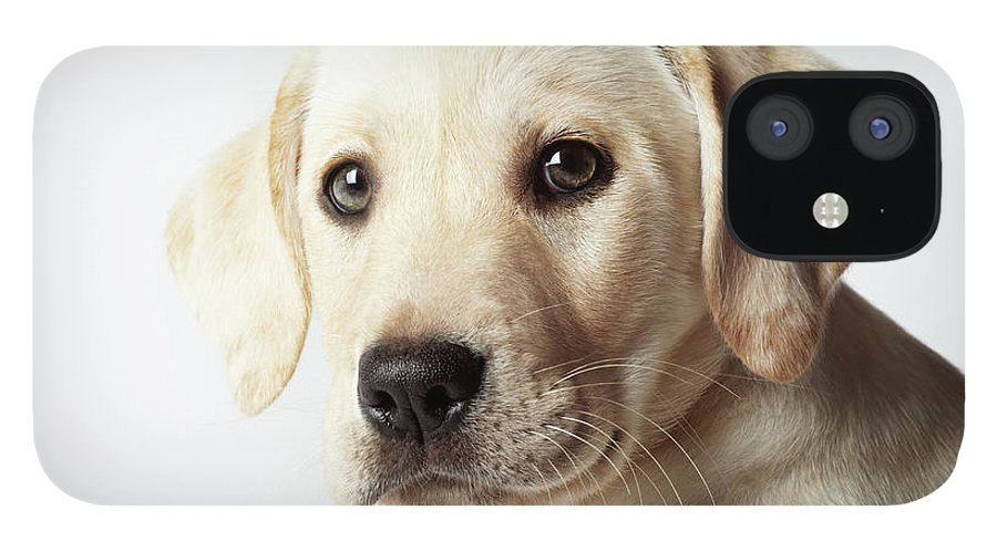 White Background IPhone 12 Case featuring the photograph Portrait Of Blond Labrador Retriever by Uwe Krejci