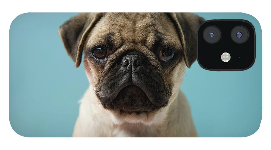 Pets IPhone 12 Case featuring the photograph Pug Puppy Against Blue Background by Reggie Casagrande