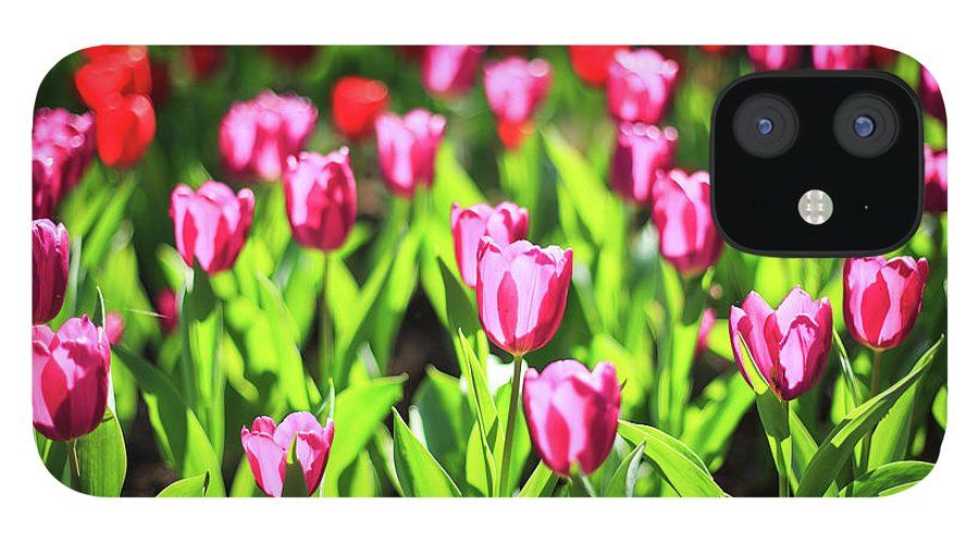 Taiwan IPhone 12 Case featuring the photograph Purple And Red Tulips Under Sun Light by Samyaoo