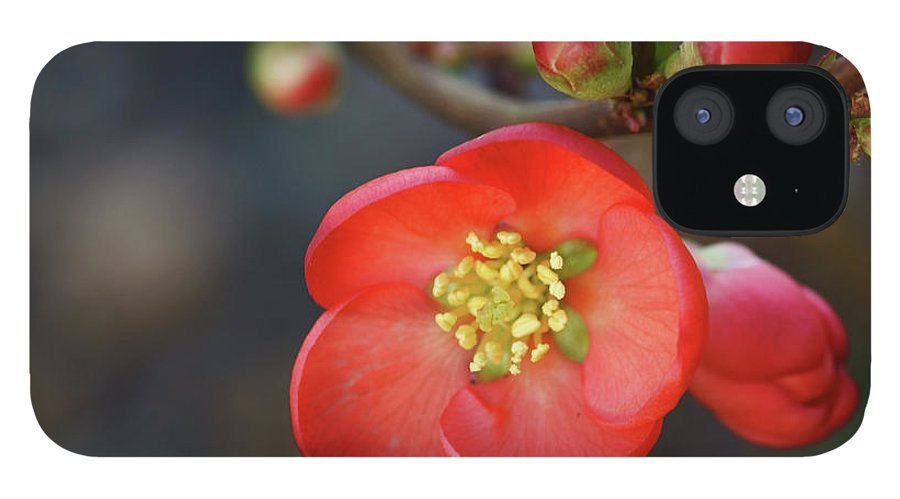 Bud IPhone 12 Case featuring the photograph Red Flowering Quince by Picture By La-ong