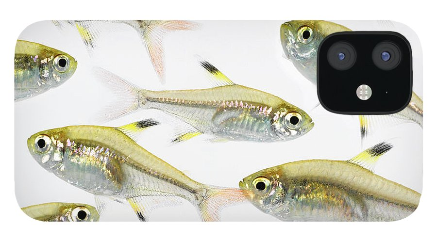 White Background IPhone 12 Case featuring the photograph School Of X-ray Tetra Fish Pristella by Don Farrall