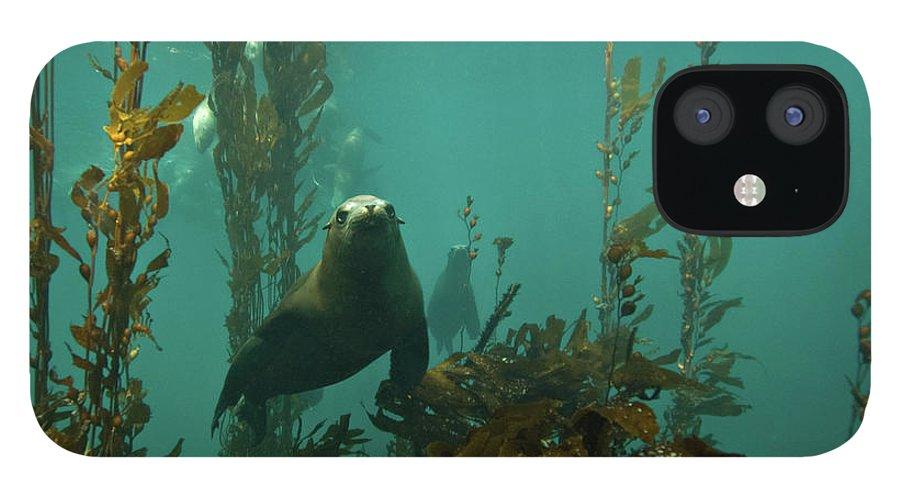 Sea Lion iPhone 12 Case featuring the photograph Sealion by Douglas Klug