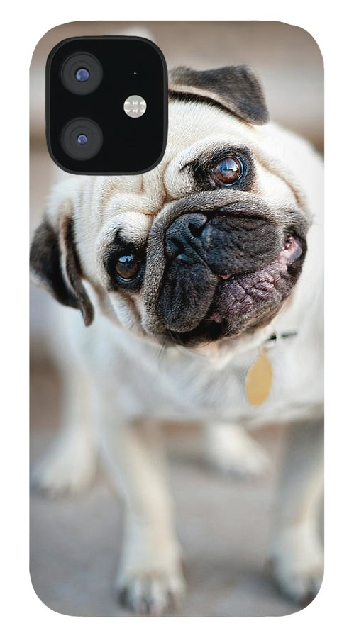 Pets IPhone 12 Case featuring the photograph Tan & Black Pug Dog Tilting Head by Alex Sotelo