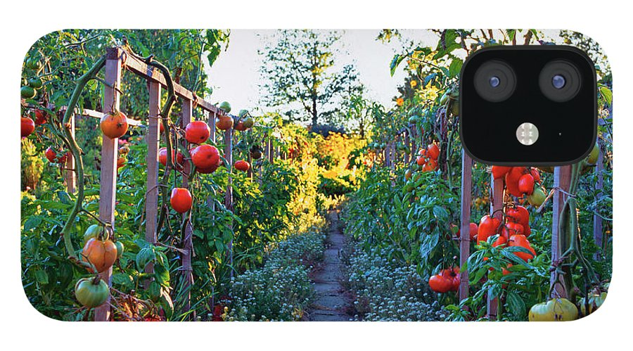 Community Garden IPhone 12 Case featuring the photograph Tomatoes On Frames by Richard Felber