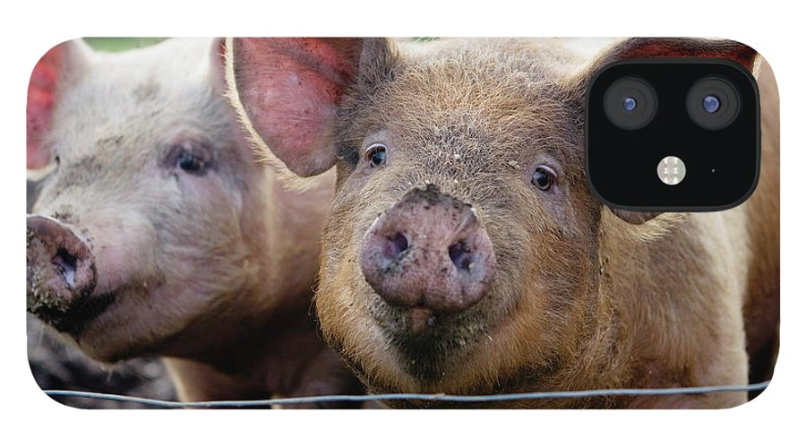 Pig IPhone 12 Case featuring the photograph Two Pigs On Farm by Charity Burggraaf