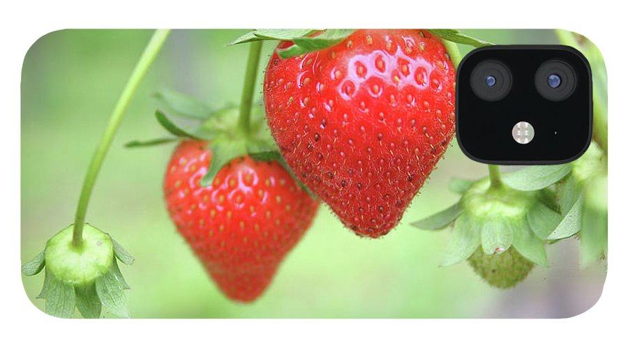 Juicy IPhone 12 Case featuring the photograph Two Ripe Red Strawberries On The Vine by Hohenhaus