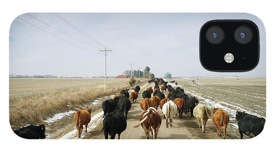 Cattle Drive IPhone 12 Case featuring the photograph Usa, Nebraska, Great Plains, Herd Of by John Kelly
