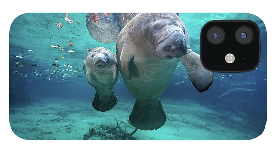Underwater IPhone 12 Case featuring the photograph West Indian Manatees by James R.d. Scott