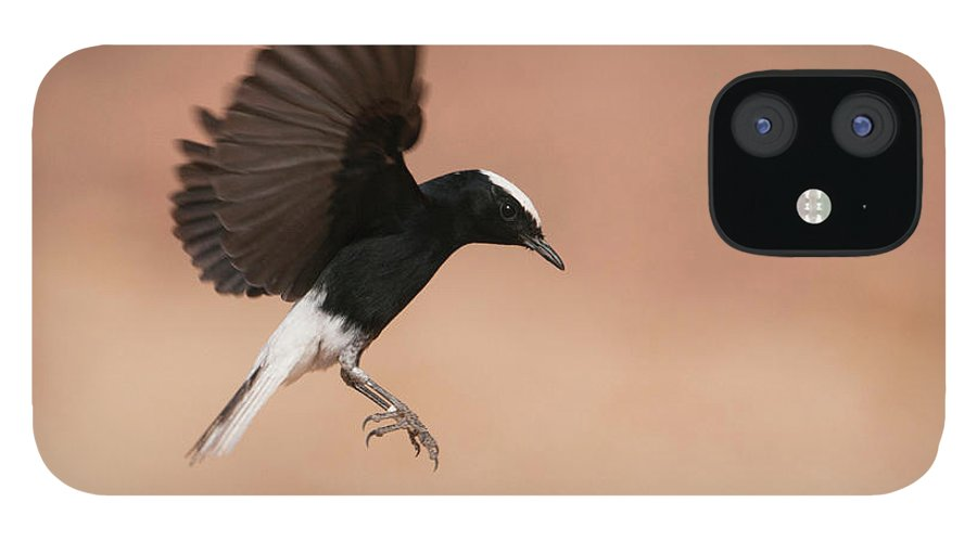 Eilat IPhone 12 Case featuring the photograph White Crowned Wheatear by Dorit Bar-zakay
