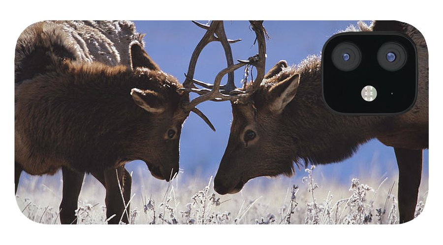 Animal Themes IPhone 12 Case featuring the photograph Young Bull Rocky Mountain Elk Cervus by Riccardo Savi