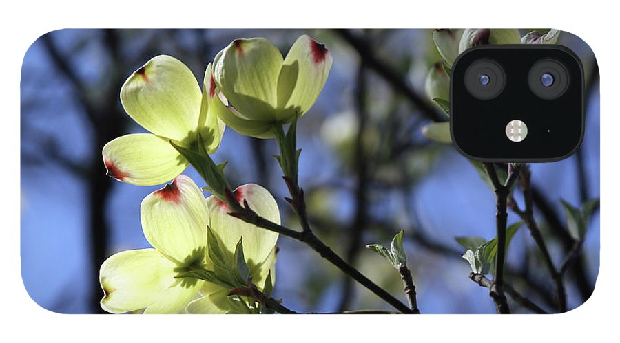 Dogwood Tree IPhone 12 Case featuring the photograph Dogwood in Sunlight by John Lautermilch
