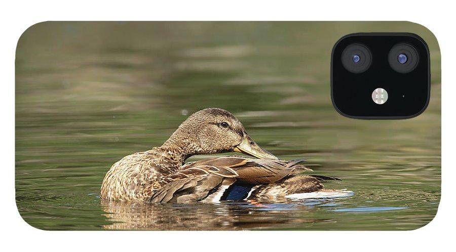 Duck iPhone 12 Case featuring the photograph Female Mallard Duck Preening by Nikki Vig