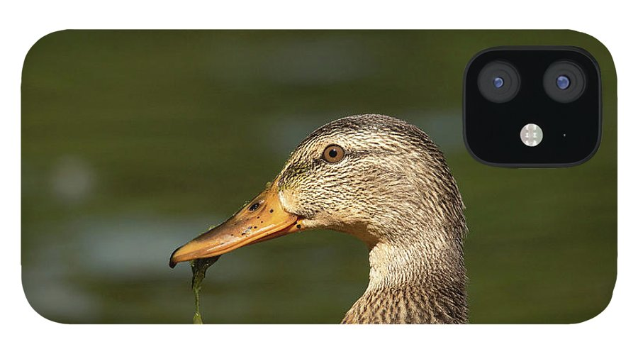 Mallard iPhone 12 Case featuring the photograph Female Mallard With Seaweed in Mouth by Nikki Vig