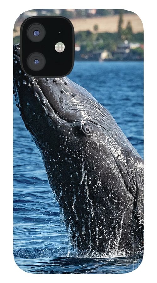 00595515 iPhone 12 Case featuring the photograph Juvenlie Humpback Breaching by Flip Nicklin