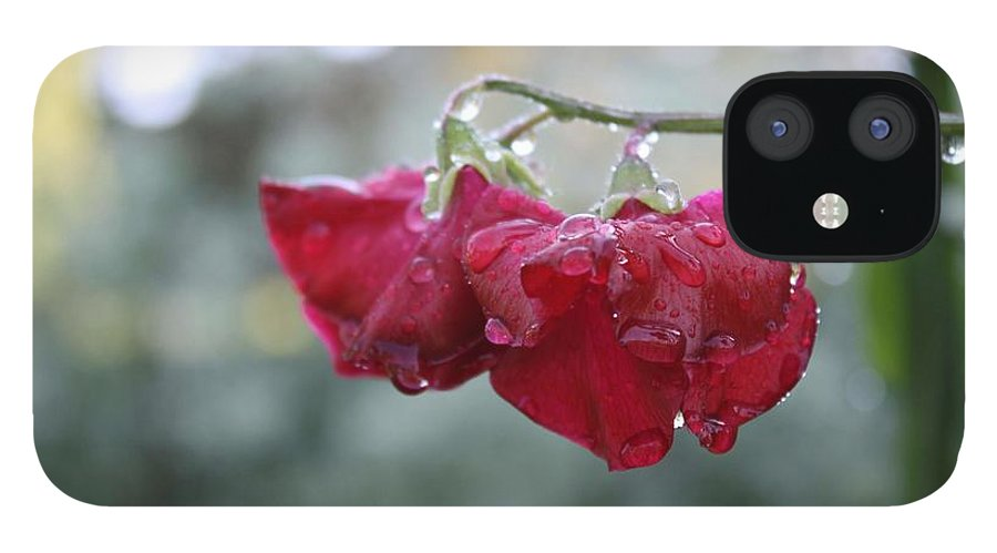Wine Red IPhone 12 Case featuring the photograph Wine Red Sweet Pea by Vicki Cridland