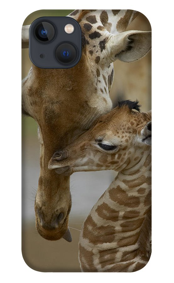 00119300 iPhone 13 Case featuring the photograph Rothschild Giraffes Nuzzling by San Diego Zoo