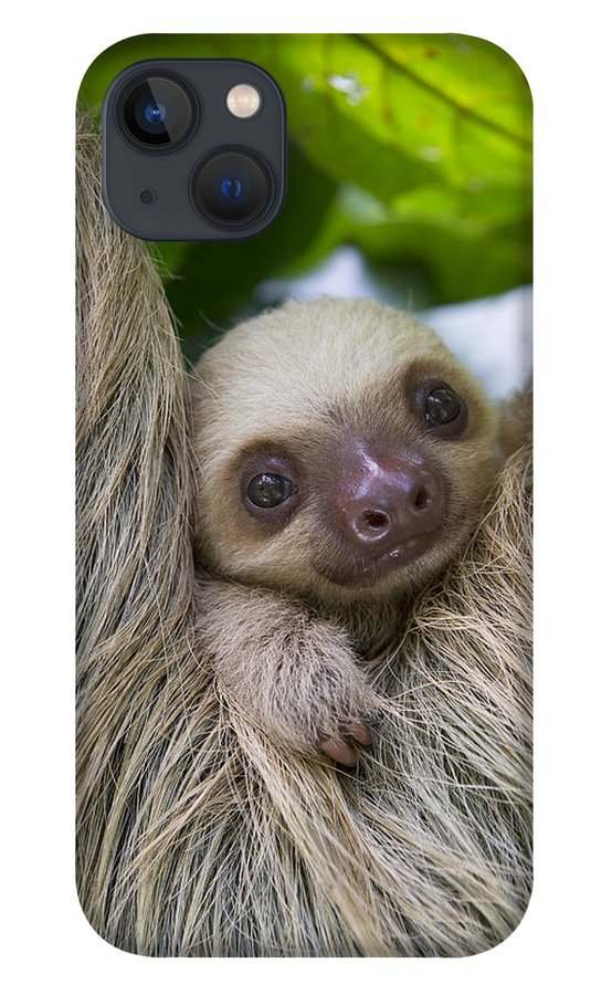 Suzi Eszterhas iPhone 13 Case featuring the photograph Hoffmanns Two-toed Sloth And Old Baby by Suzi Eszterhas
