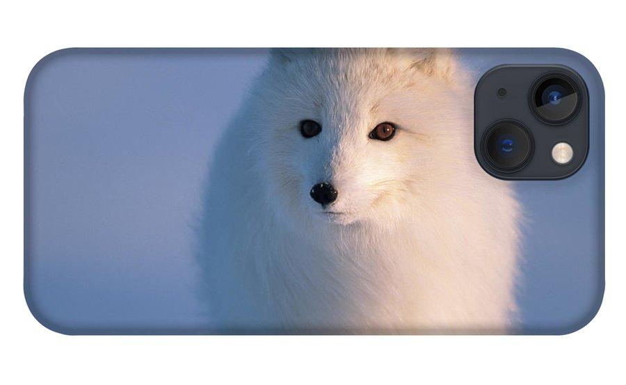 00342972 iPhone 13 Case featuring the photograph Arctic Fox, Alaska by Yva Momatiuk and John Eastcott