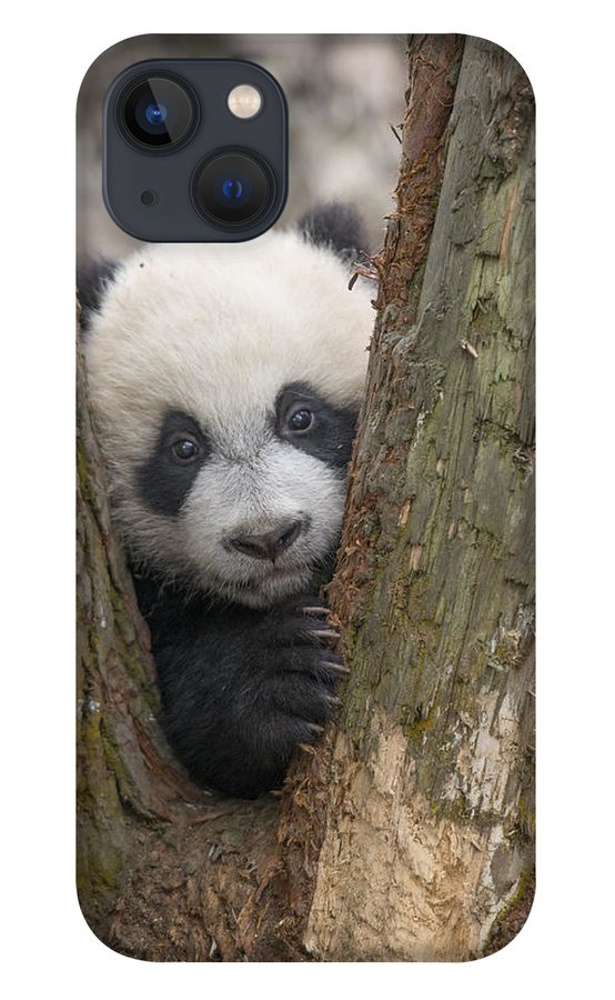Katherine Feng iPhone 13 Case featuring the photograph Giant Panda Cub Bifengxia Panda Base by Katherine Feng