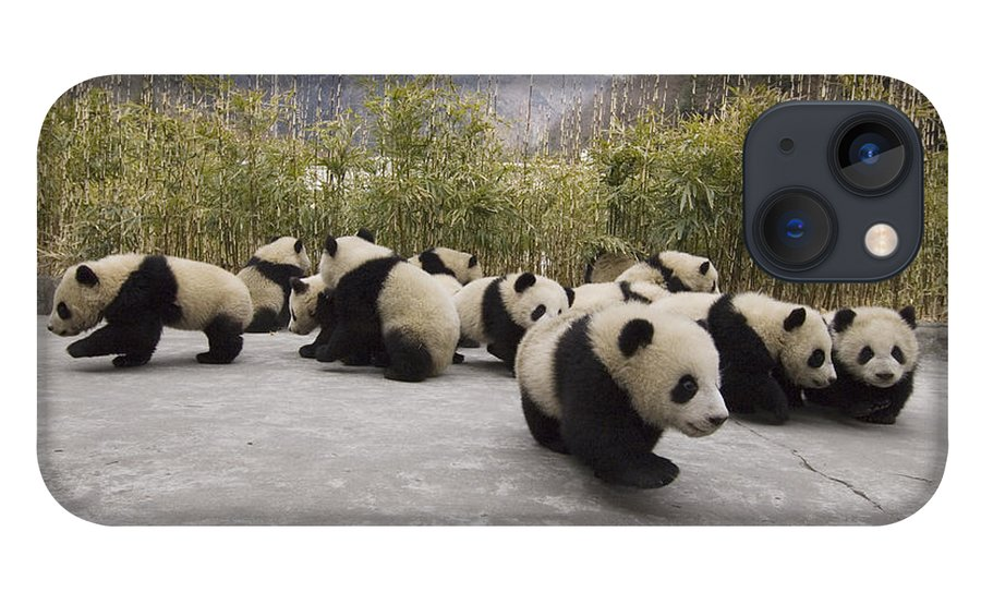 Feb0514 iPhone 13 Case featuring the photograph Giant Panda Cubs Wolong China by Katherine Feng