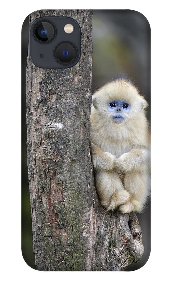 Feb0514 iPhone 13 Case featuring the photograph Golden Snub-nosed Monkey Young China by Thomas Marent