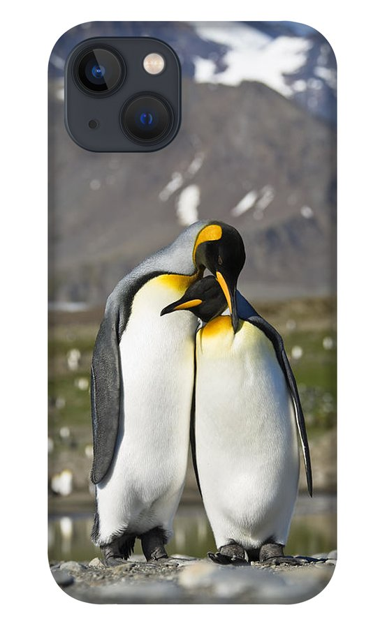 Feb0514 iPhone 13 Case featuring the photograph King Penguins Courting St Andrews Bay by Konrad Wothe