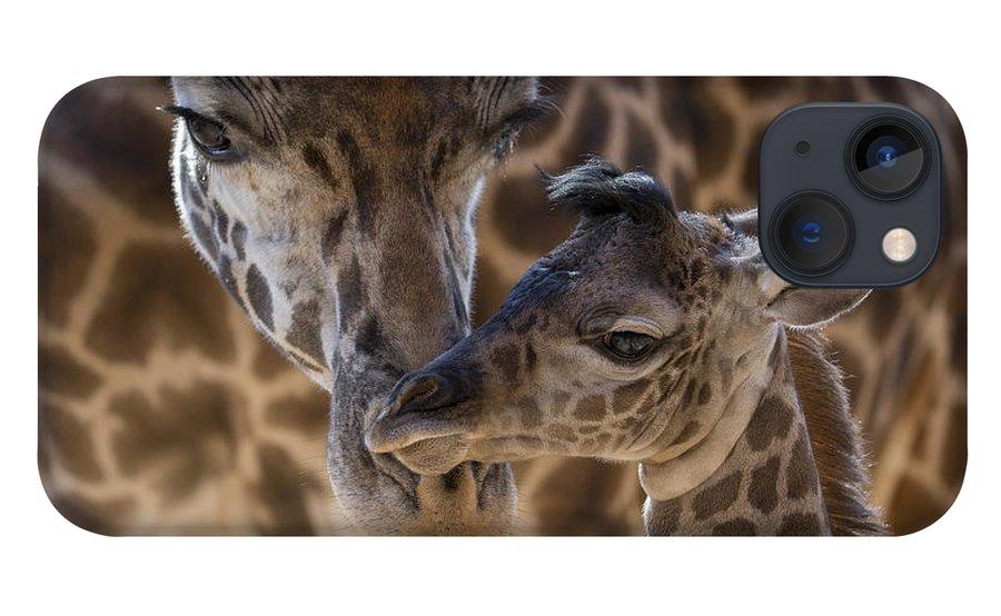 San Diego Zoo iPhone 13 Case featuring the photograph Masai Giraffe And Calf by San Diego Zoo