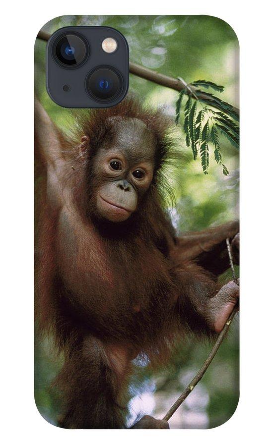 Feb0514 iPhone 13 Case featuring the photograph Orangutan Infant Hanging Borneo by Konrad Wothe